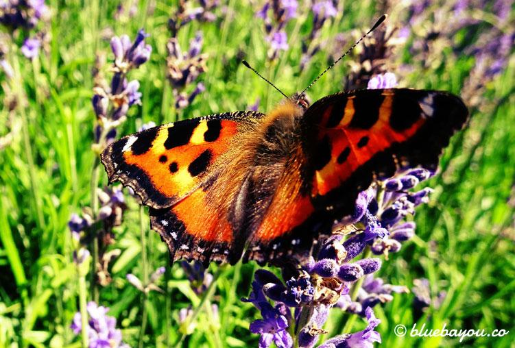Fotoparade, Kategorie Nahaufnahme: Ein Schmetterling an Lavendel.