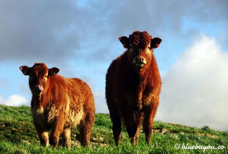 Zwei Rinder auf dem Jakobsweg.