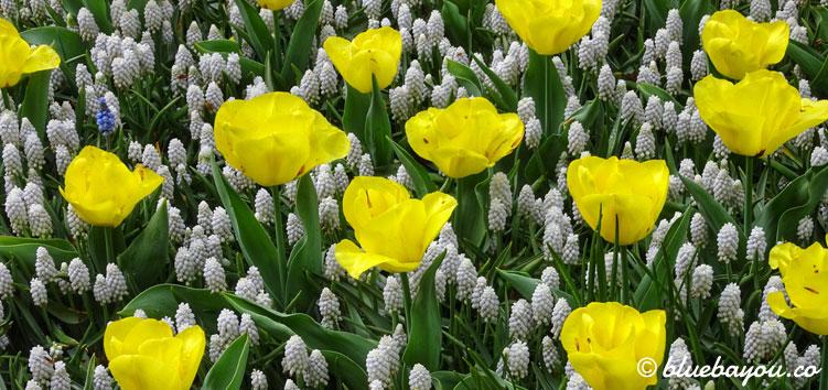 Gelb und weiß: Blumenfeld im Keukenhof.