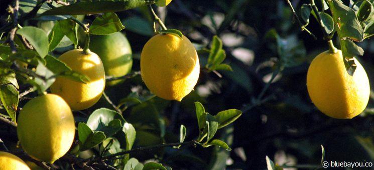 Ein Zitronenbaum in Montenegro.