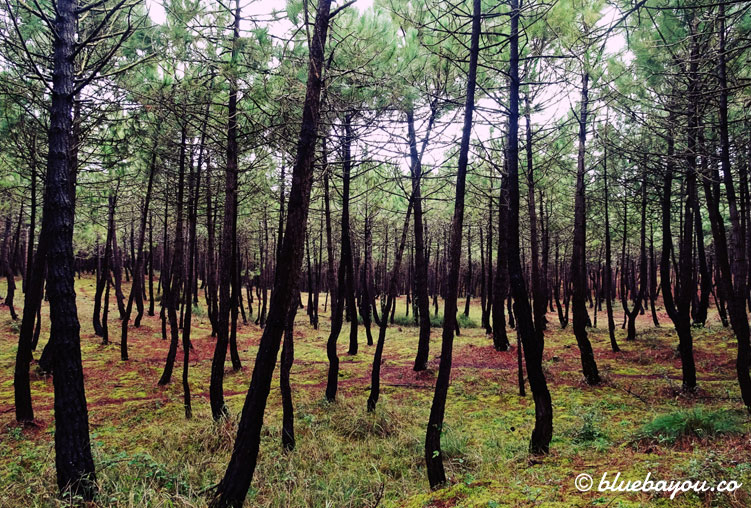 Der Wald vor dem Dünenpark entlang meines Jakobswegs.