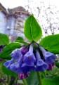 Sporing - bluebells