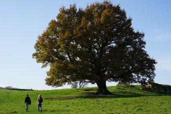 Lone Oak Tree Near Mudbrookes House
