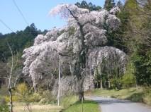 自宅近くのしだれ桜