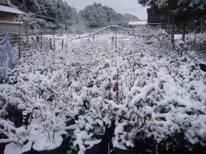 雪で覆われた苗木