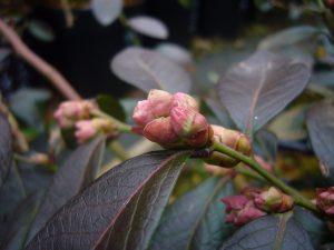 ミスティの花芽