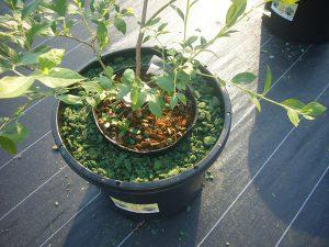 ブルーベリー苗木のWポット栽培