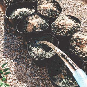 ブルーベリーの植え替え作業