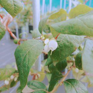二期咲のブルーベリーの花