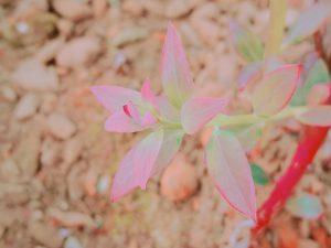 ブルーベリーの新芽も紅葉です