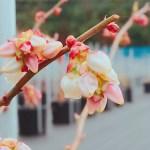 ブルーベリーオニールの花