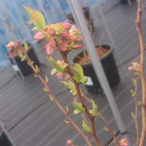ブルーベリーの若葉が芽吹いています