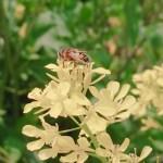 菜の花の花粉を集めるミツバチ