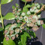 ブルーベリーの果実 ブルークロップ