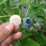 500円硬貨大のブルーベリーの果実