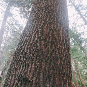 大きなクヌギの木