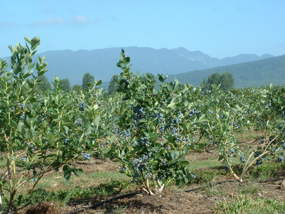 The blueberry farm in Pitt Meadows, B.C...click on pictures to enlarge. (1/3)