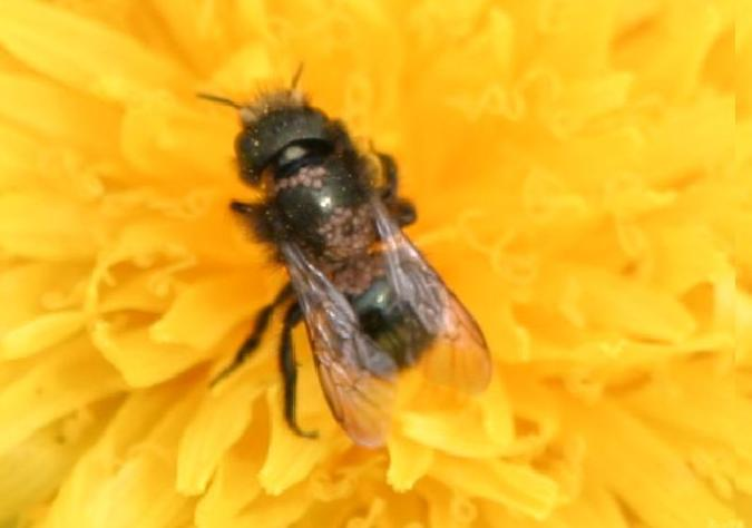 Mason bees and pollen mites (1/4)