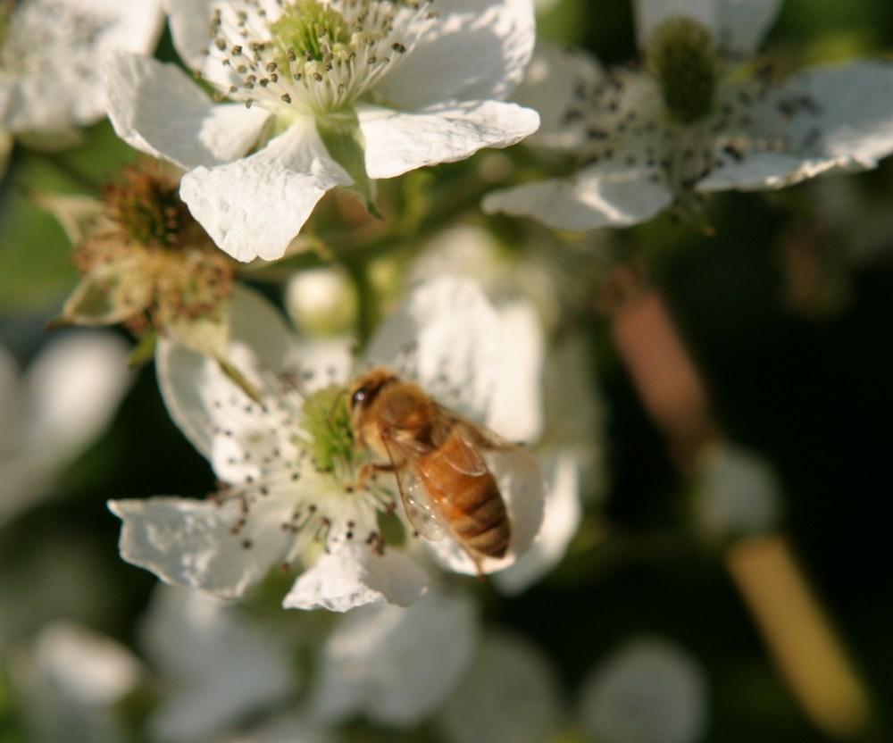 Carniolan and Italian honeybees (2/3)