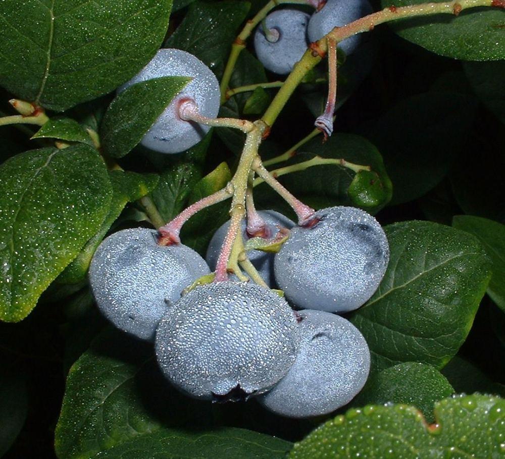 Durable Draper blueberry (1/3)