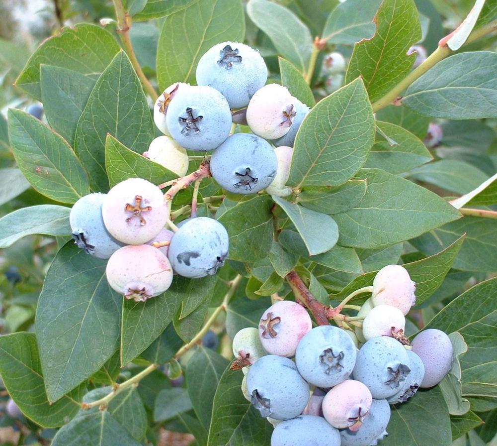 Durable Draper blueberry (3/3)