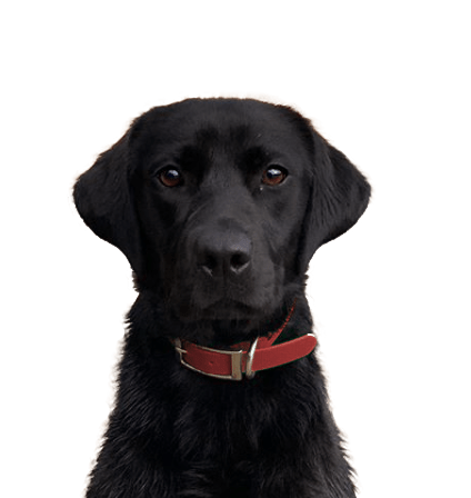 Blueblood Labrador