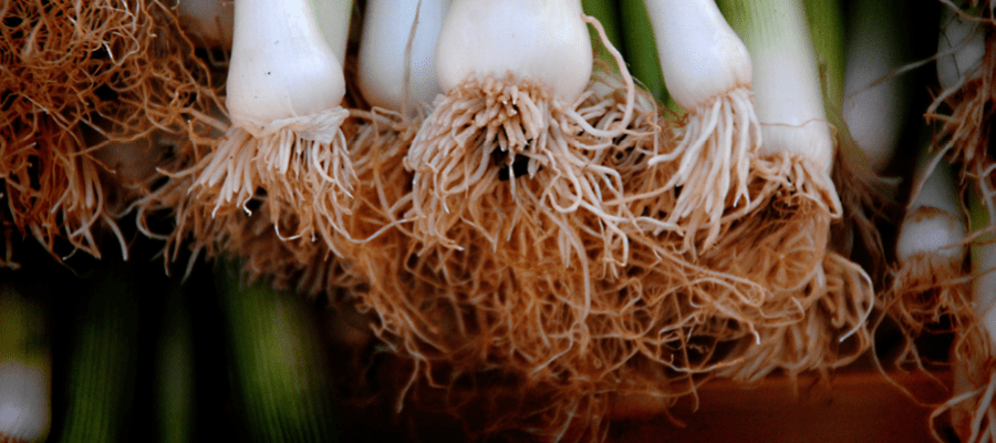 Spring Onion roots