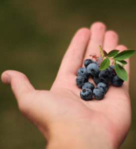 fresh Blueberries being held