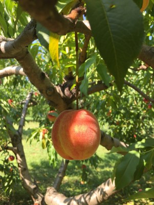 Cider Hill Farm - Peaches - BlueBootsGo