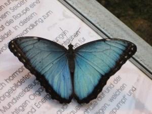 blauer Schmetterling auf Buchhintergrund