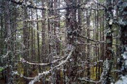 lichen forest