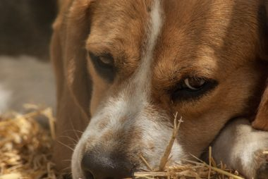ways to help a beagle with separation anxiety