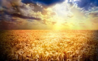 Wheat-in-the-sunshine