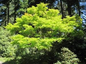 Acer palmatum aurea photo