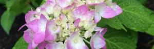 Photo of hydrangea
