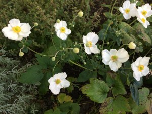 Photo of Japanese Anemones