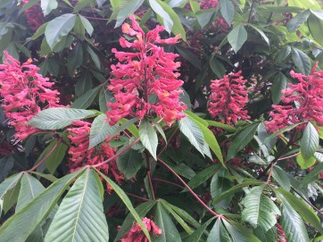 Photo of Red Buckeye