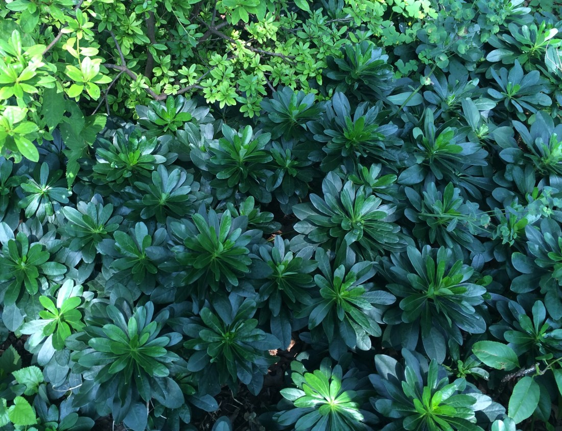 Photo of Euphorbia ground cover