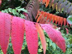 Staghorn Sumac Photo