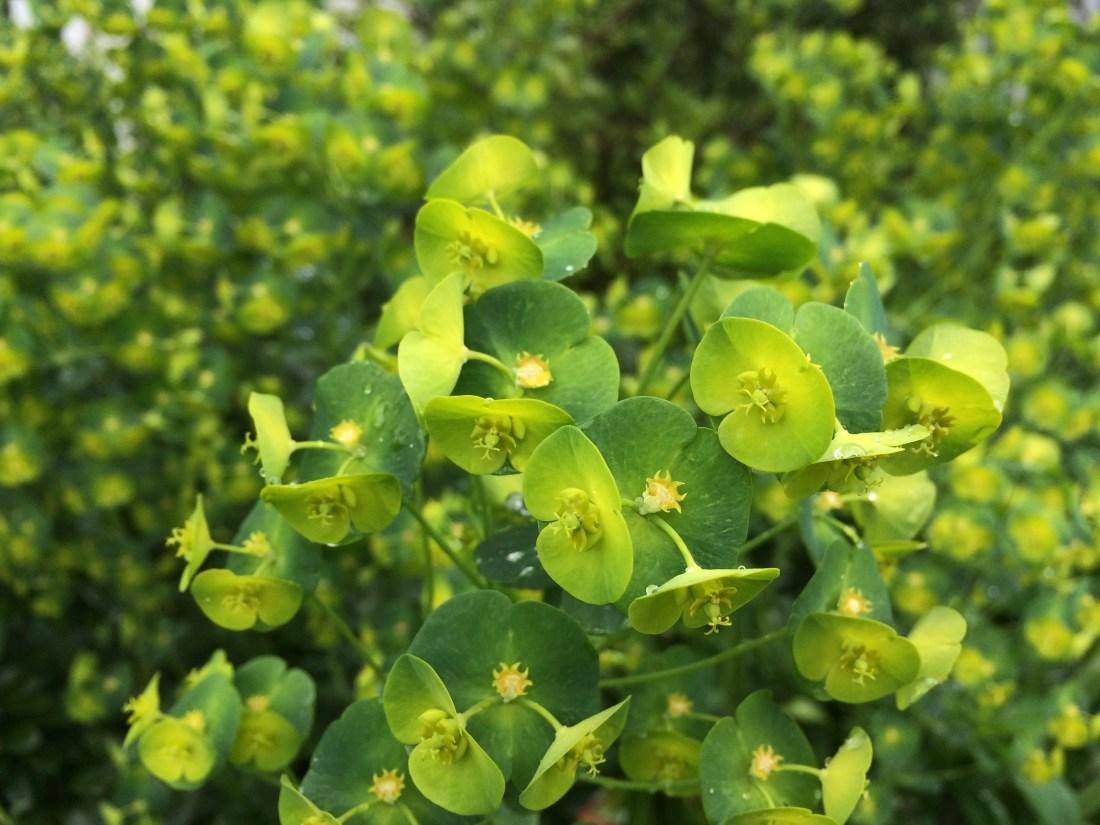 Photo of Euphorbia