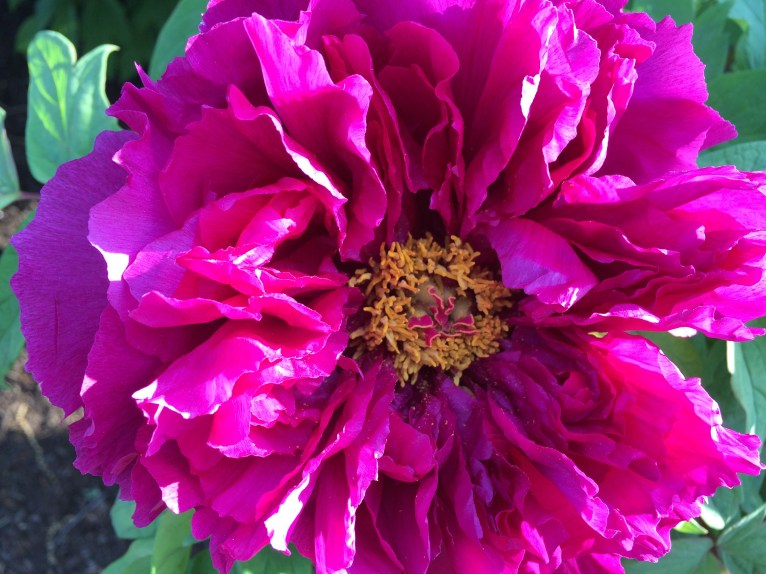 Photo of tree peony