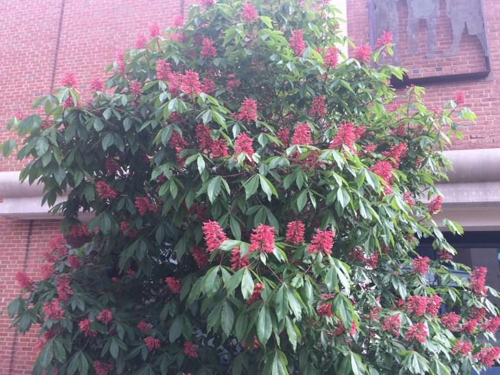 Photo of Red Buckeye