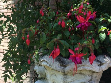 Photo of fuchsia.