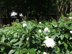 Photo of white peonies