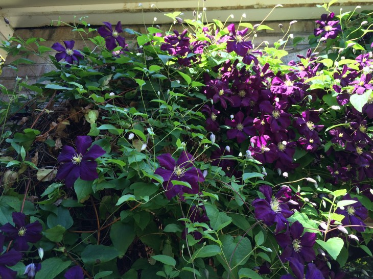 Photo of Clematis Vine
