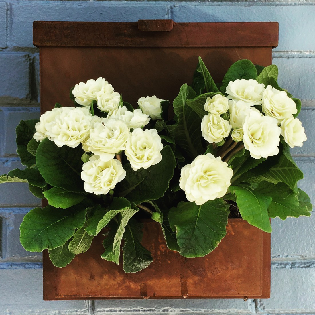 Photo of rusty mailbox with white primroses