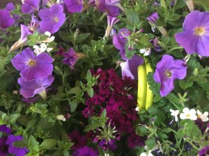 Photo of Purple Annuals