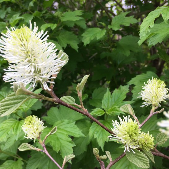 Photo of Fothergilla