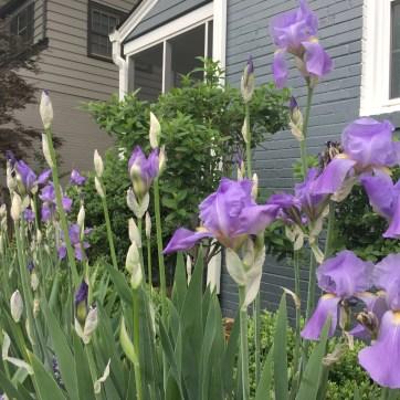 Photo of Irises in Garden
