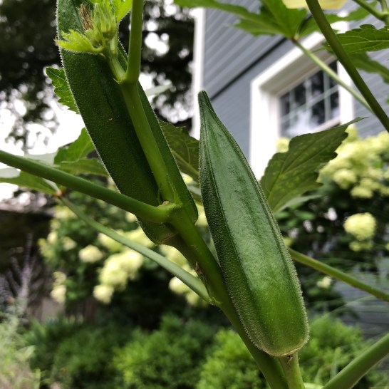 Photo of okra plant